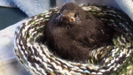 A fledgling grackle happy in his knitted nest. (Helene Van Doninck)